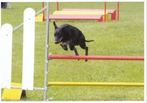Le Manchester Terrier sur un saut de haie en agility